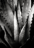 Agave and patterns