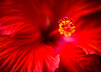 Red Hibiscus